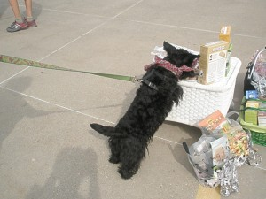 Mayzie invades the treat station while other dogs are distracted by a style contest.